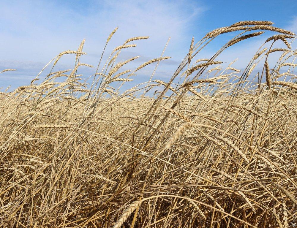 Продкорпорация проведет интервенционную закупку 2 млн. тонн зерна указахстанских аграриев
