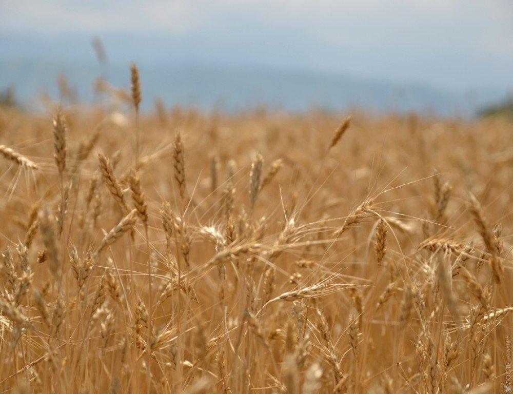 19,5 млн тонн зерна планирует собрать Казахстан